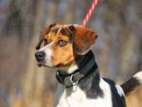Beagle - 12-0419 Bindy - Medium - Adult - Female - Dog