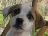 Beagle - 8 Pups Foster Home Needed - Medium - Adult -