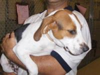 Beagle - Abe - Small - Baby - Male - Dog If you need