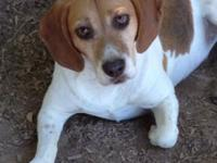 Brother and sister beagles for adoption. The female has