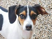 Beagle - Andrew - Medium - Young - Male - Dog Andrew is