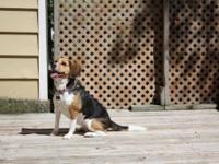 Beagle - Angel - Medium - Adult - Female - Dog As told