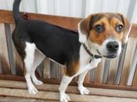 Beagle - Angelina - Medium - Young - Female - Dog