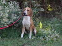 Beagle - Archie - Medium - Young - Male - Dog 9/23/12
