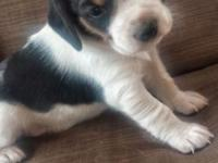 We have 5 beagle puppies that will be ready for their