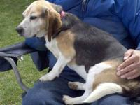 Beagle - Bagel - Medium - Young - Male - Dog Time and
