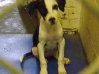 Beagle - Barli - Small - Adult - Female - Dog Barli is
