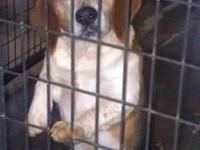 Beagle - Beagley Boo - Small - Adult - Male - Dog