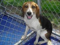 Beagle - Beagley Boo - Small - Adult - Male - Dog Meet