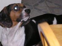 Beagle - Bella - Small - Young - Female - Dog Please