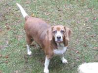 "Beagle - Betty - Medium - Senior - Female - Dog ""Betty"""