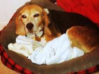 Beagle - Betty White - Medium - Adult - Female - Dog