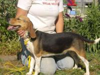 Beagle - Beverly - Small - Adult - Female - Dog Beverly