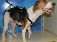 Beagle - Beverly - Small - Young - Female - Dog Beverly