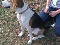 Beagle - Bitsey - Medium - Young - Female - Dog Bitsey