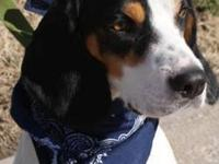 Beagle - Boo - Medium - Baby - Male - Dog 6 month old