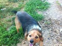 Beagle - Buck Cerda - Medium - Adult - Male - Dog Buck