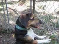 Beagle - Buddy Bob Mops - Medium - Young - Male - Dog