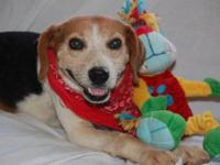 Beagle - Buster - Small - Adult - Male - Dog BUSTER is