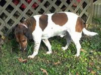 Beagle - Carmel-courtesy - Medium - Senior - Male -