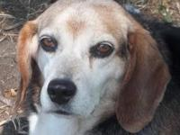 Beagle - Charlotte - Medium - Adult - Female - Dog When