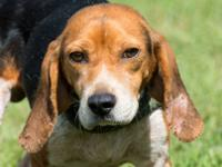 Beagle - Chester - Small - Adult - Male - Dog 4 yrs.