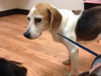 Beagle - Cheyenne - Medium - Senior - Female - Dog