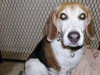 Beagle - Chipper - Small - Young - Male - Dog