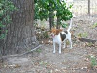 Beautiful, sweet adult female Beagle, fixed and all