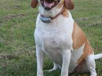 Beagle - Cooper - Small - Adult - Male - Dog Cooper is