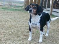 Beagle - Cross - Medium - Adult - Male - Dog
