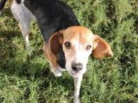 Beagle - Daisy - Small - Adult - Female - Dog Meet