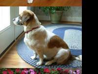 Beagle - Demi - Medium - Senior - Female - Dog Demi is