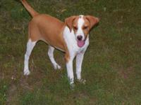 Beagle - Dharma - Medium - Young - Female - Dog This is