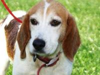 Beagle - Eastwood - Medium - Adult - Male - Dog Hello,