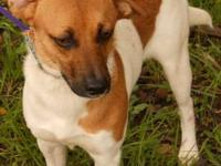 Beagle - Elaine - Small - Young - Female - Dog Adoption