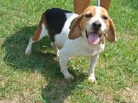 Beagle - Eli - Small - Adult - Male - Dog The $98.00