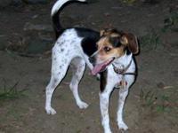 Beagle - Fancy - Medium - Young - Female - Dog Hi I'm