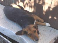 Beagle - Fergus-neutered! - Medium - Adult - Male -
