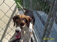 Beagle - George Cooney - Large - Adult - Male - Dog