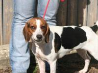 Beagle - Gertie - Medium - Young - Female - Dog This