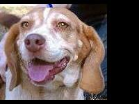 Beagle - Gracie - Small - Adult - Female - Dog Gracie