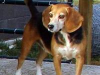 Beagle - Gracie - Small - Young - Female - Dog Gracie