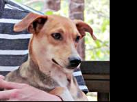 Beagle - Holly - Medium - Young - Female - Dog