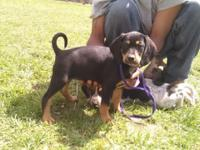 I have four beagle hound puppies for sale. Come from