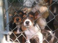 I have 3 healthy outgoing beagle hound pups who are