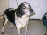 Beagle - Hubbard8354 - Medium - Senior - Male - Dog