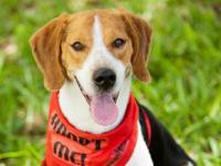 Beagle - Ike - Medium - Young - Male - Dog You can fill
