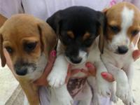 Beagle / Mini Dachshund Mix. Black, tan, and white male