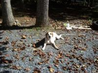 Beagle - Jacob - Medium - Adult - Male - Dog I'm Jacob,